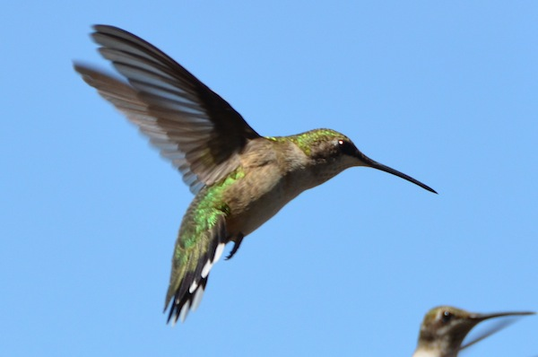 Ruby-throated hummer