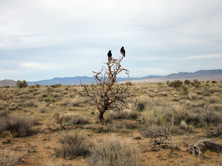 Harris Hawks in the Sonoran