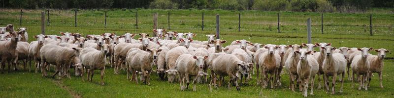 Sarto Sheep Farms