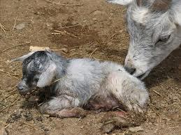 Newborn lamb Newborn g...