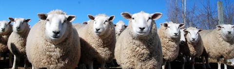 Sheep_facing