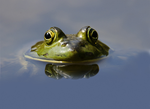 Art - Reflective Frog