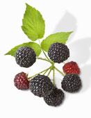 blackberrieswithleaf