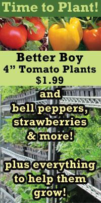 Better Boy Tomatos $1.99