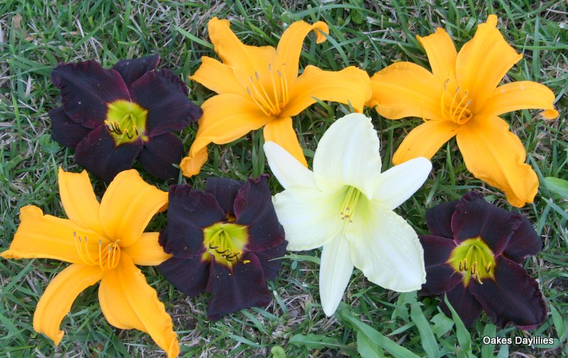 Daylily collage - Jungle Beauty, Jersey Spider and Jolly White Giant