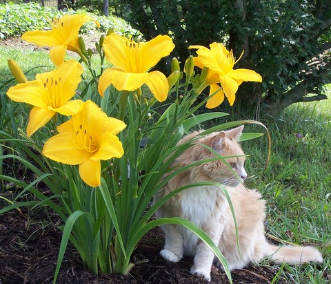 Cat with daylilies
