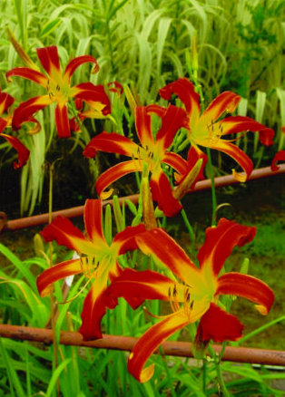 Daylily 'Red Ribbons'