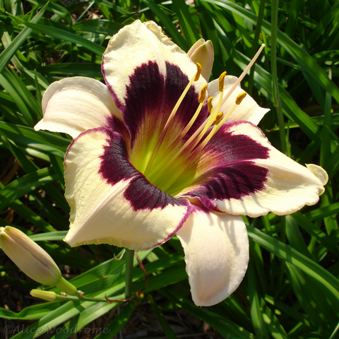 Daylily 'Moonlit Masquerade'