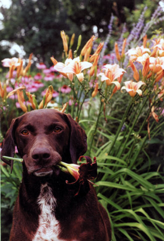 Dog with daylily