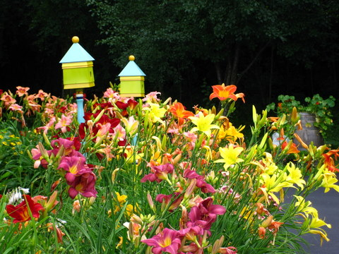 Daylilies used in the landscape