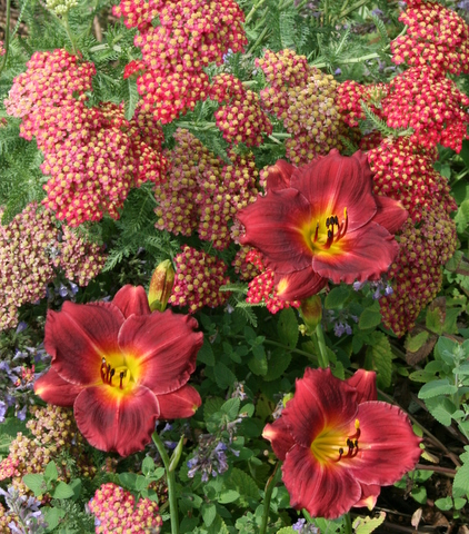 Daylily 'Siloam Red Ruby' with Achillea 'Paprika'