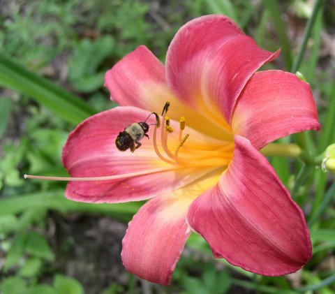 Daylily 'Cherry Cheeks' with bee