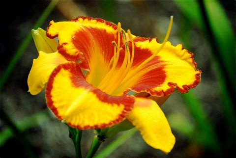 Daylily 'Fooled Me'