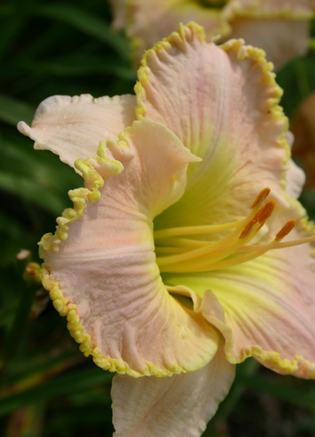 Daylily 'Ed Brown'