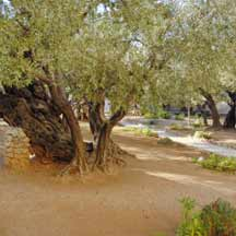Gethsemane (ICEJ Staff photograph)