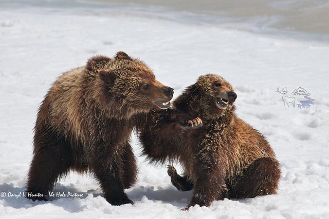 bears punch