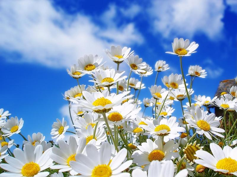 Spring_Daisies