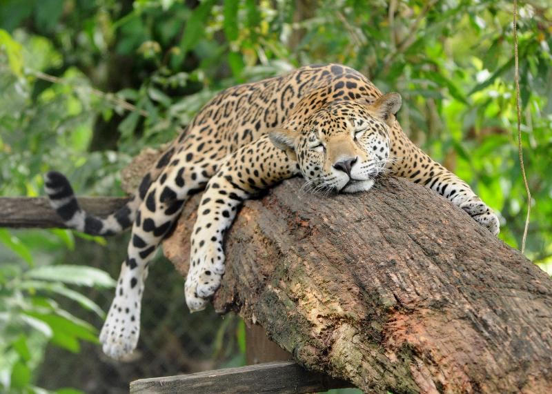 Our resident jaguar Tikatoo taking a cat-nap