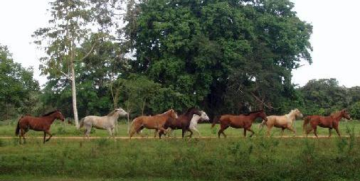 Horses roam free at Banana Bank