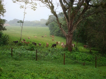 Banana Bank cattle and egrets