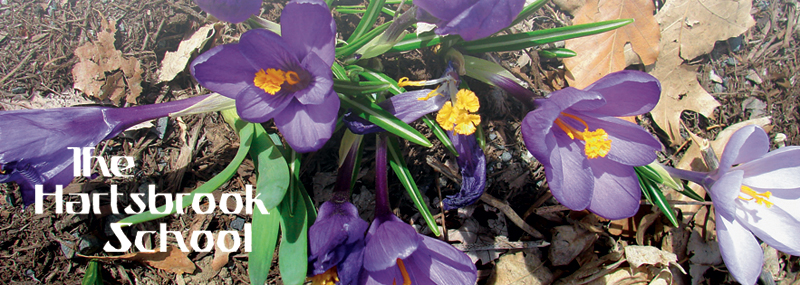 purple croci