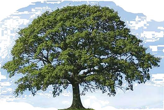 Oak Tree on a blank background