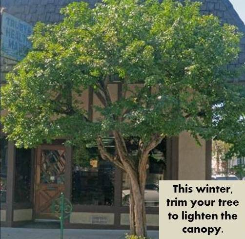 Picture of a Tree with the caption_ _This Winter Trim your tree to lighten the canopy._