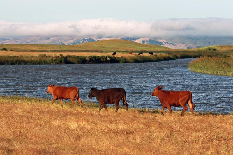 Muehleisen-3 cows