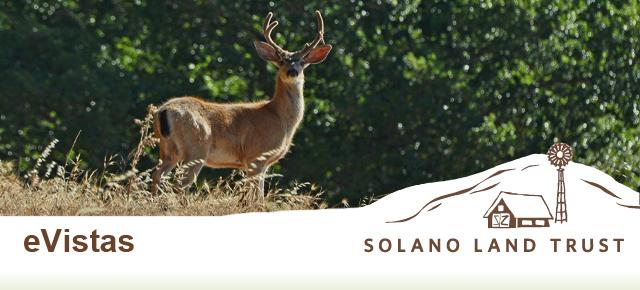 Buck at Solano Land Trust