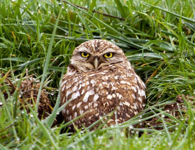 Burrowing Owl-Muehleisen