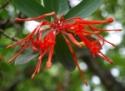 chilean fire bush