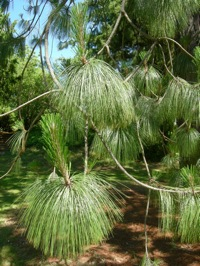 montezuma pine