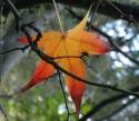 maple leaf orange