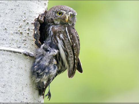 owl photo bannick