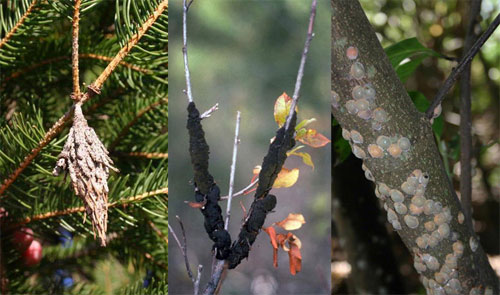 Bagworm, black knot, and magnolia scale.