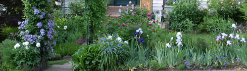 Clematis and iris in spring