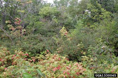 Exotic bush honeysuckle infestation.