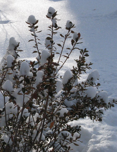 Rhododendrons after a snowfall