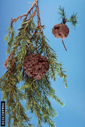 Cedar apple rust gall