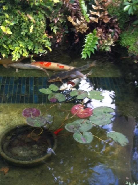 December 2011 newsletter for Temporary koi pond