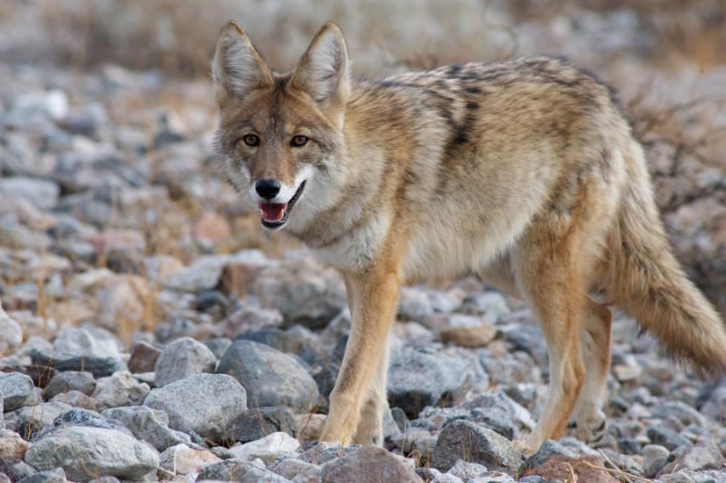 a young coyote strolling through  death valley