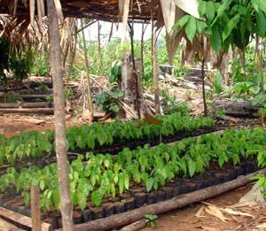 Amazon Seedlings