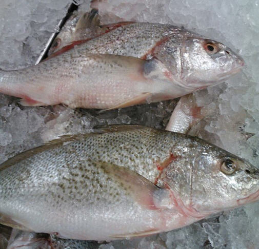 Earp's Seafood-Large Croakers