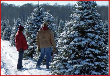 Christmas Tree Cutting - Little Switzerland