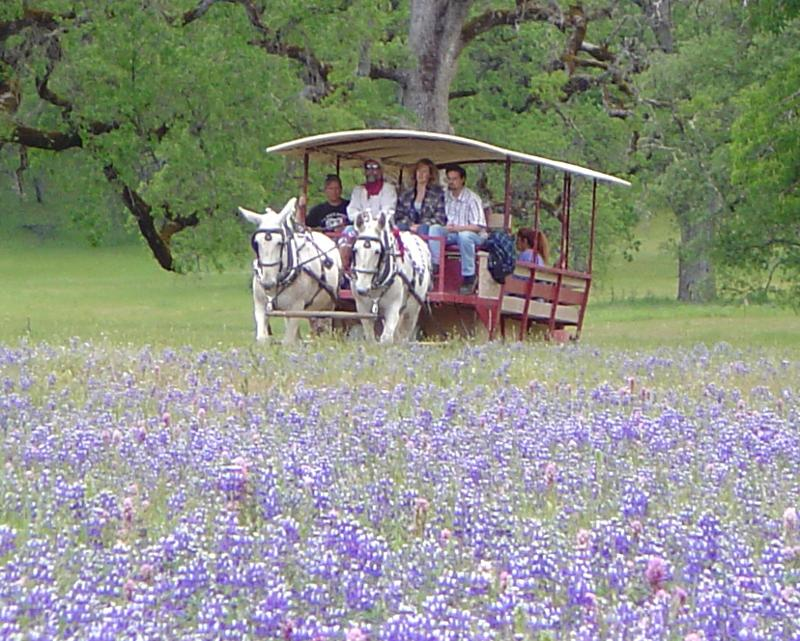 Eleven Roses Ranch Lupins