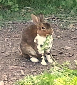 Coco the free-range farm bunny
