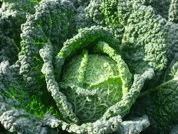 Savoy Cabbage a Laguna Farm Favorite
