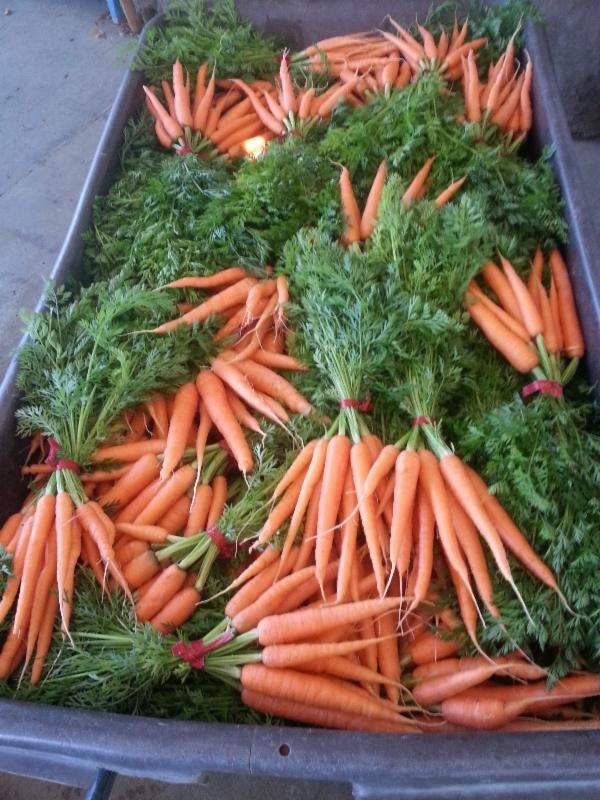 Laguna Farm Carrots ready for the CSA