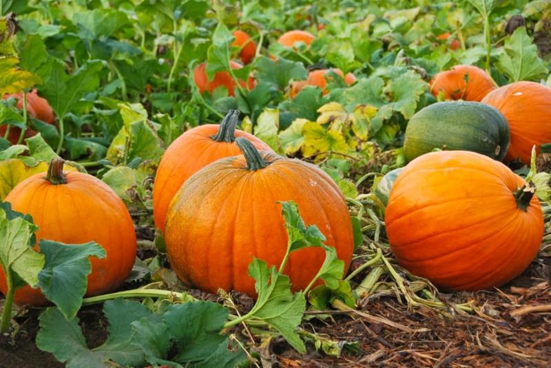 you pick pumpkins!