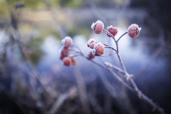 frost on berries by james owens